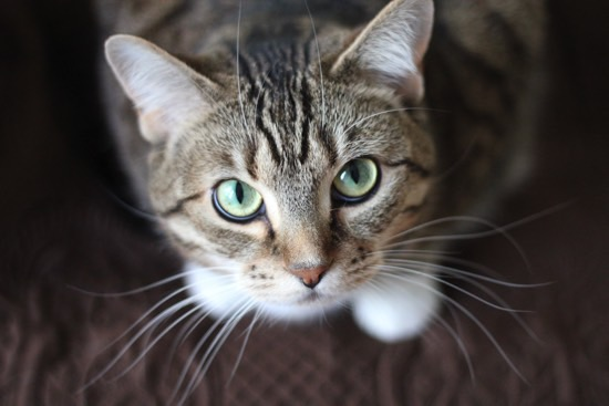 Abyssinian Cat Breed Information – What you need to know before buying an Abyssinian Kitten or Cat!