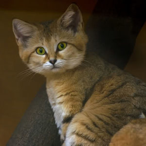Interesting facts about Sand Cats